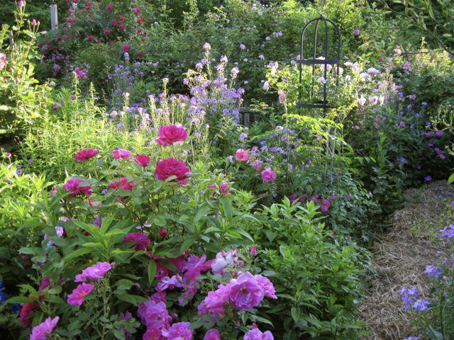 Frances' rose garden